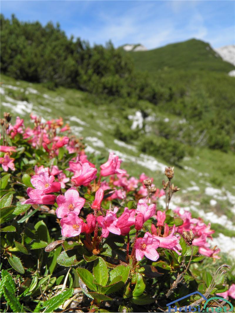 Dlakavi sleč (Rhododendron hirsutum) - SlikaDlakavi sleč (Rhododendron hirsutum), foto Otiv.