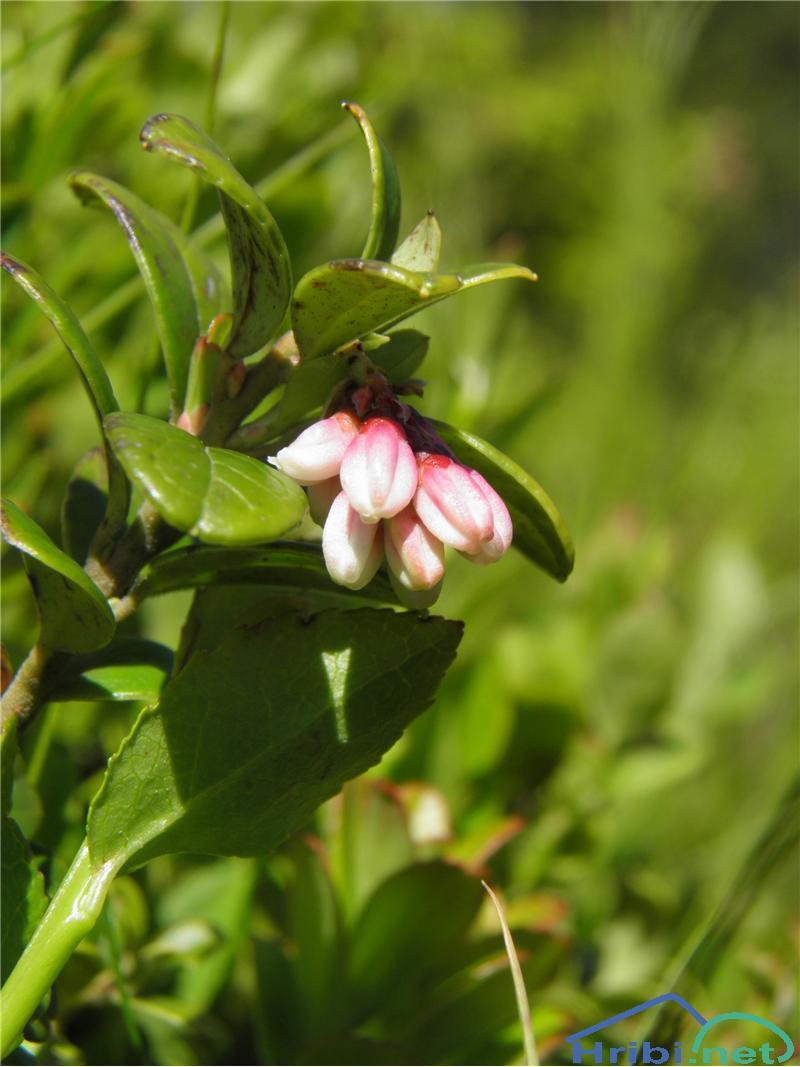 Brusnica (Vaccinium vitis-idaea) - SlikaBrusnica (Vaccinium vitis-idaea), foto Otiv.