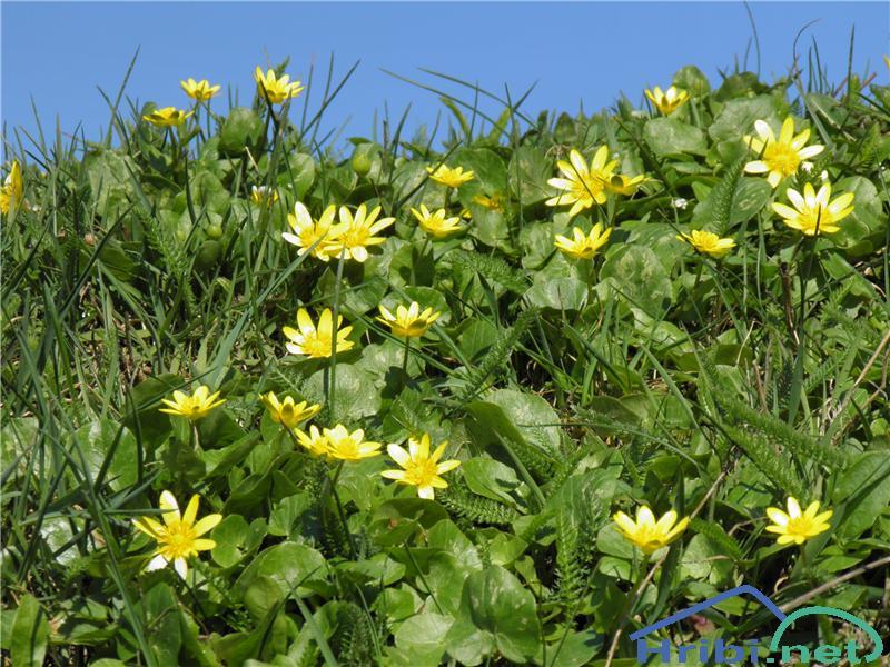 Lopatičasta zlatica (Ranunculus ficaria) - SlikaLopatičasta zlatica (Ranunculus ficaria), foto Otiv.