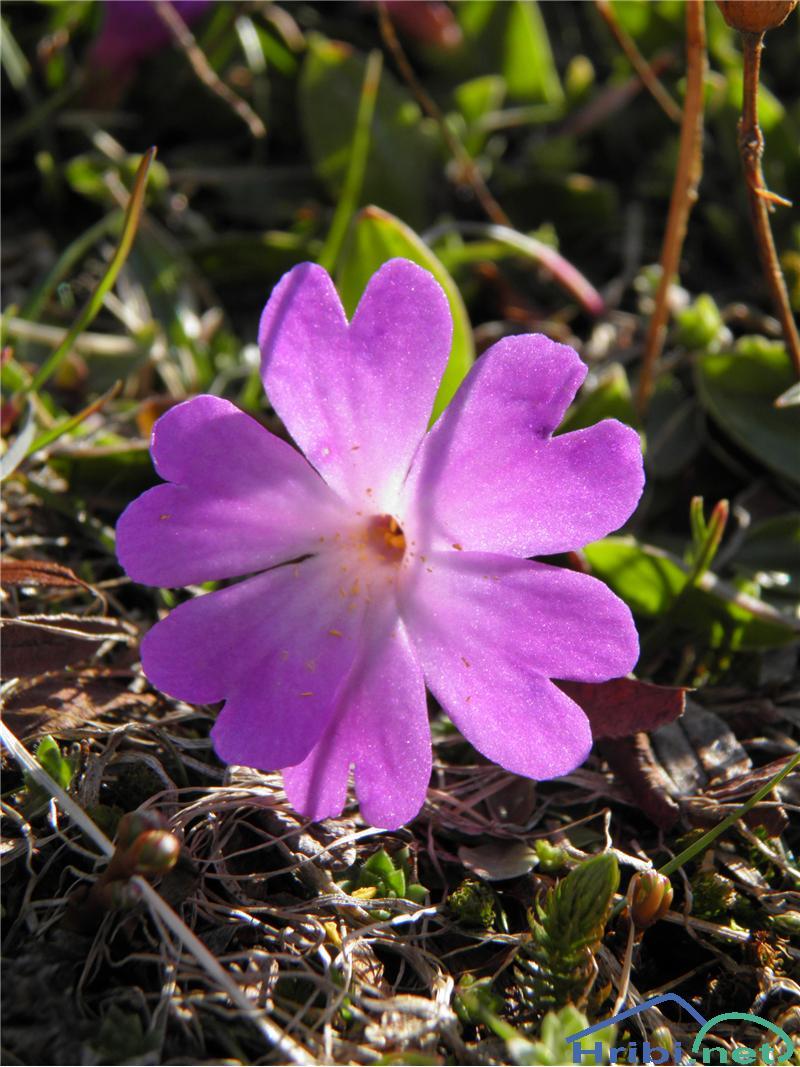 Wulfenov jeglič (Primula wulfeniana) - PictureWulfenov jeglič (Primula wulfeniana), foto Otiv.