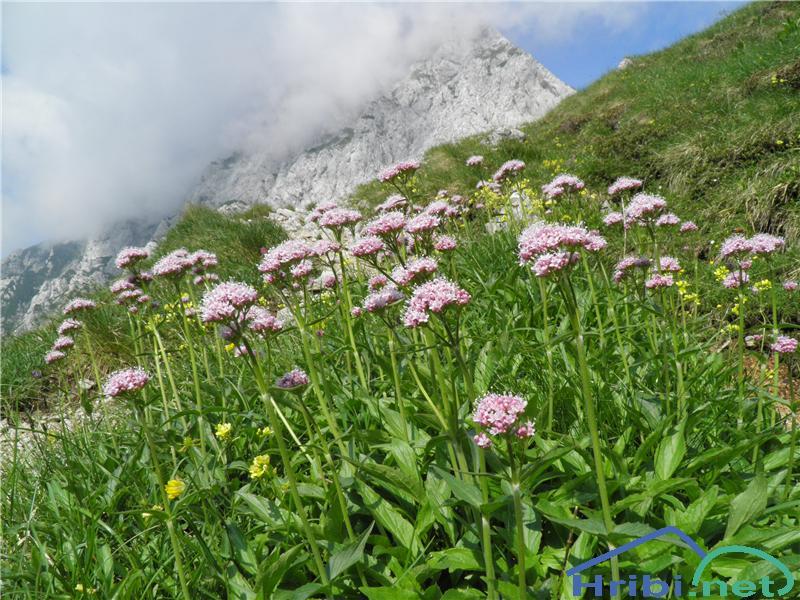 Gorska špajka (Valeriana montana) - SlikaGorska špajka (Valeriana montana), foto Otiv.