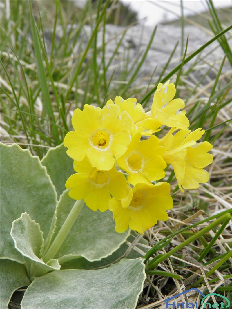 Lepi jeglič ali avrikelj (Primula auricula) - PictureAvrikelj (Primula auricula), foto Otiv.