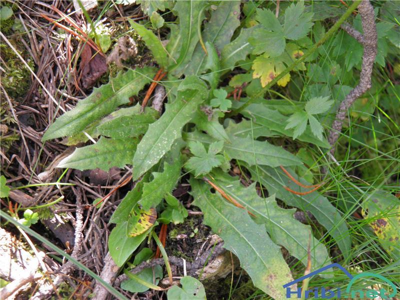 Navadni jajčar ali navadni otavčič (Leontodon hispidus) - PictureNavadni jajčar (Leontodon hispidus), foto Otiv.