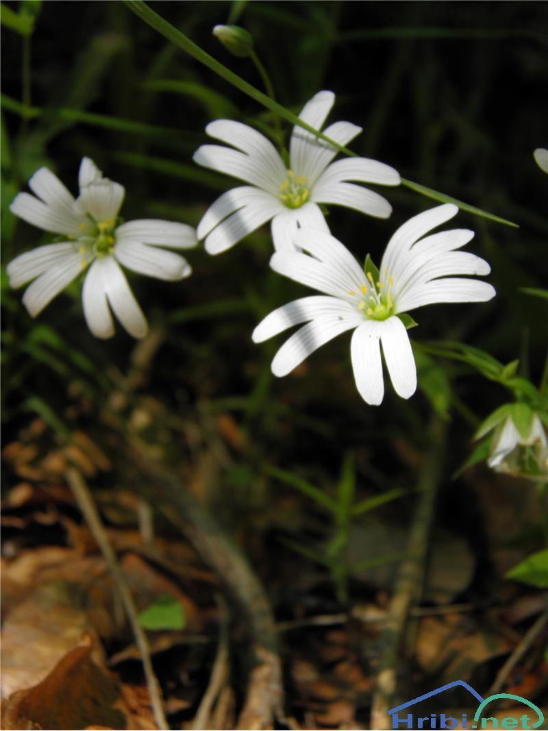 Velecvetna zvezdica (Stellaria holostea) - SlikaVelecvetna zvezdica (Stellaria holostea), foto Otiv.