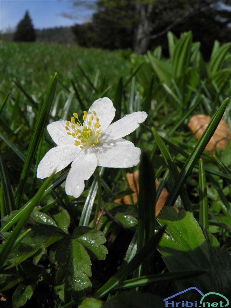 Podlesna vetrnica (Anemone nemorosa) - SlikaPodlesna vetrnica (Anemone nemorosa), foto Otiv.