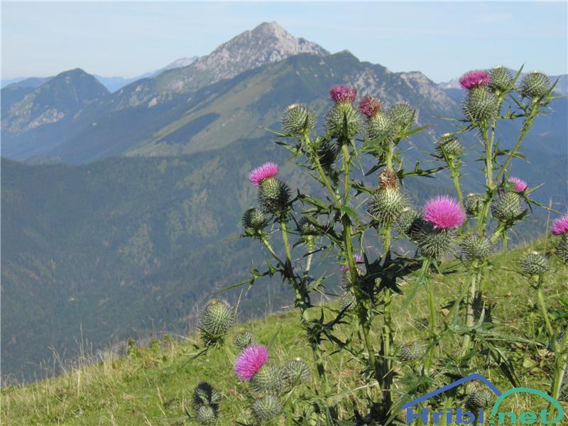 Navadni osat (Cirsium vulgare) - SlikaNavadni osat (Cirsium vulgare), foto Otiv.