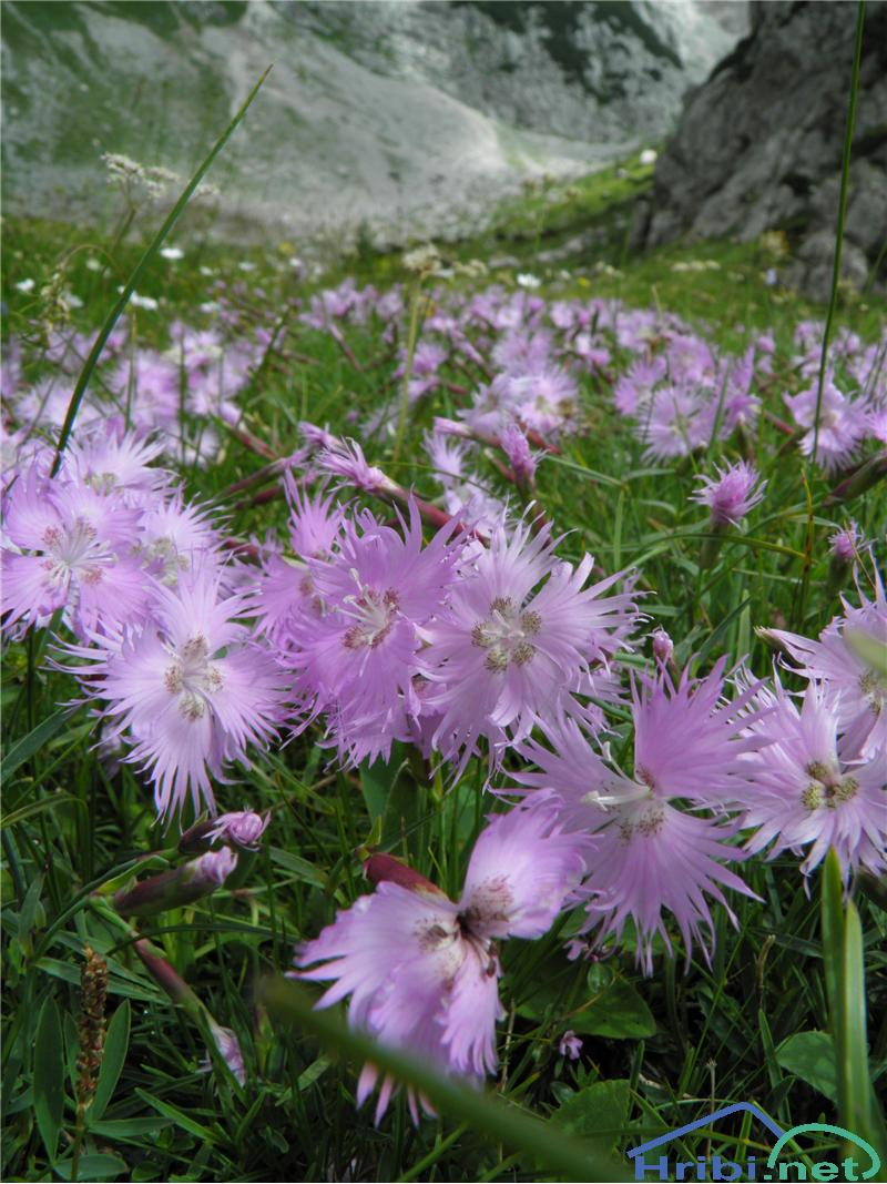 Sternbergov klinček (Dianthus sternbergii) - PictureSternbergov klinček (Dianthus sternbergii), foto Otiv.