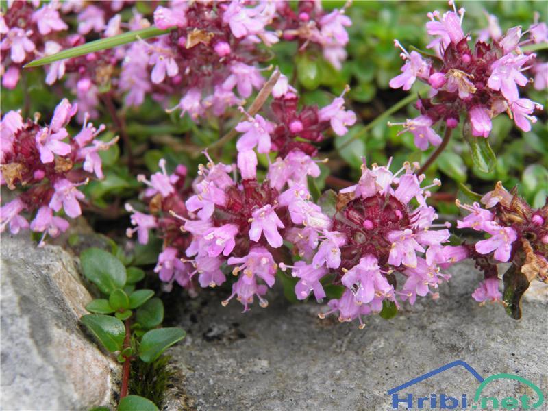 Divji timijan ali materina dušica (Thymus serpyllum) - PictureDivji timijan ali materina dušica (Thymus serpyllum), foto Otiv.
