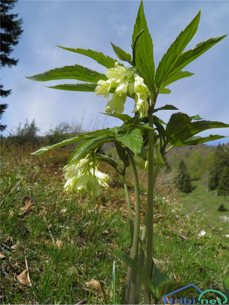 Deveterolistna konopnica (Cardamine enneaphyllos) - PictureDeveterolistna konopnica (Cardamine enneaphyllos), foto Otiv.