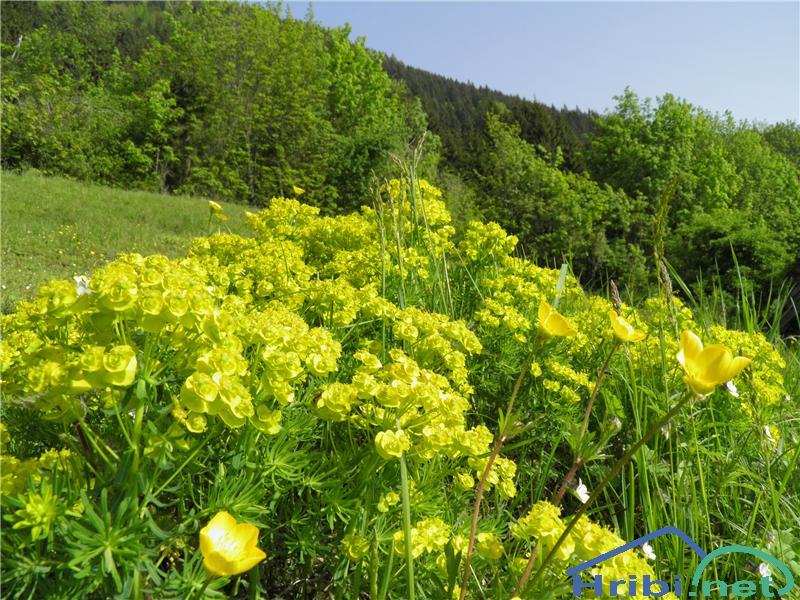 Cipresasti mleček (Euphorbia cyparissias) - SlikaCipresasti mleček (Euphorbia cyparissias), foto Otiv.