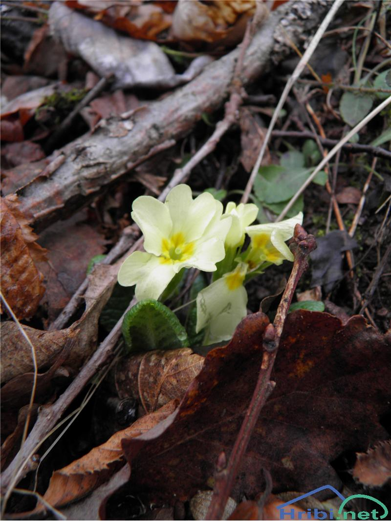 Navadni jeglič ali trobentica (Primula vulgaris) - PictureTrobentica (Primula vulgaris), foto Otiv.