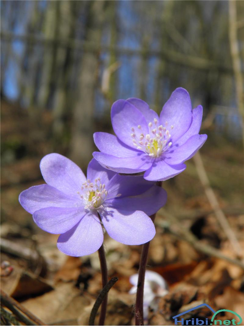 Navadni jetrnik (Hepatica nobilis) - PictureNavadni jetrnik (Hepatica nobilis), foto Otiv.
