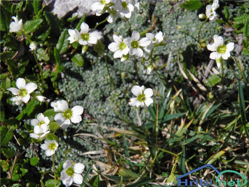 Sinjezeleni kamnokreč (Saxifraga caesia) - PictureSinjezeleni kamnokreč (Saxifraga caesia), foto Otiv.