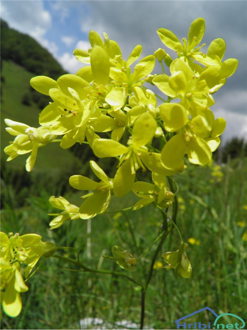 Navadna šparnica (Biscutella laevigata) - PictureNavadna šparnica (Biscutella laevigata), foto Otiv.