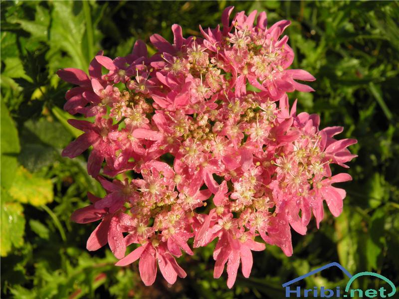 Rožnordeči ali avstrijski dežen (Heracleum austriacum subsp. siifolium) - SlikaRožnordeči dežen (Heracleum austriacum subsp. siifolium), foto Otiv.