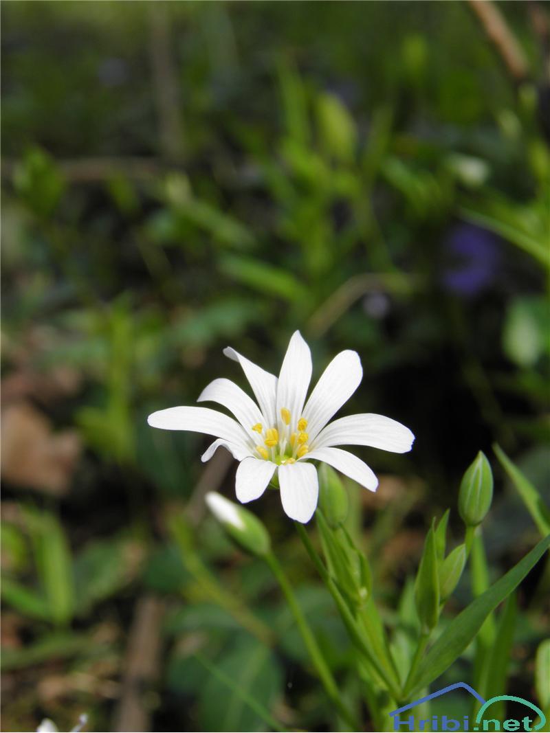 Gozdna zvezdica (Stellaria nemorum) - PictureGozdna zvezdica (Stellaria nemorum), foto Otiv.