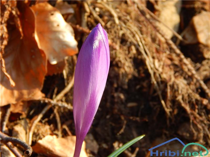 Pomladanski žafran (Crocus vernus) - SlikaPomladanski žafran (Crocus vernus)