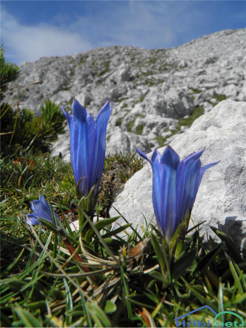 Froelichov svišč (Gentiana froelichii) - PictureFroelichov svišč (Gentiana froelichii), foto Otiv.