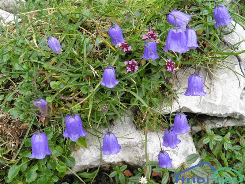 Trebušasta zvončica (Campanula cochleariifolia) - PictureTrebušasta zvončica (Campanula cochleariifolia), foto Otiv.