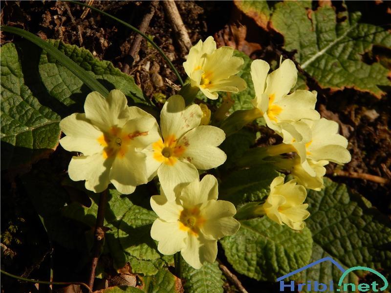 Navadni jeglič ali trobentica (Primula vulgaris) - SlikaNavadni jeglič ali trobentica (Primula vulgaris)