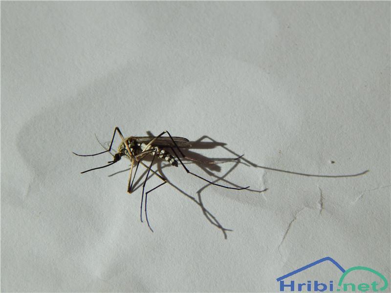 Tigrasti komar (Aedes albopictus) - PictureTigrasti komar (Aedes albopictus)