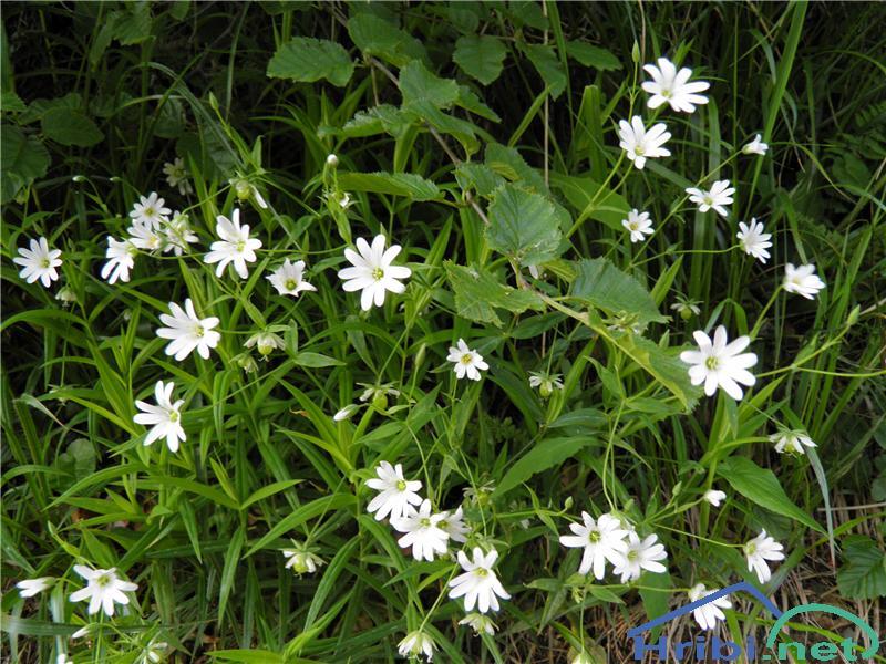 Velecvetna zvezdica (Stellaria holostea) - PictureVelecvetna zvezdica (Stellaria holostea), foto Otiv.