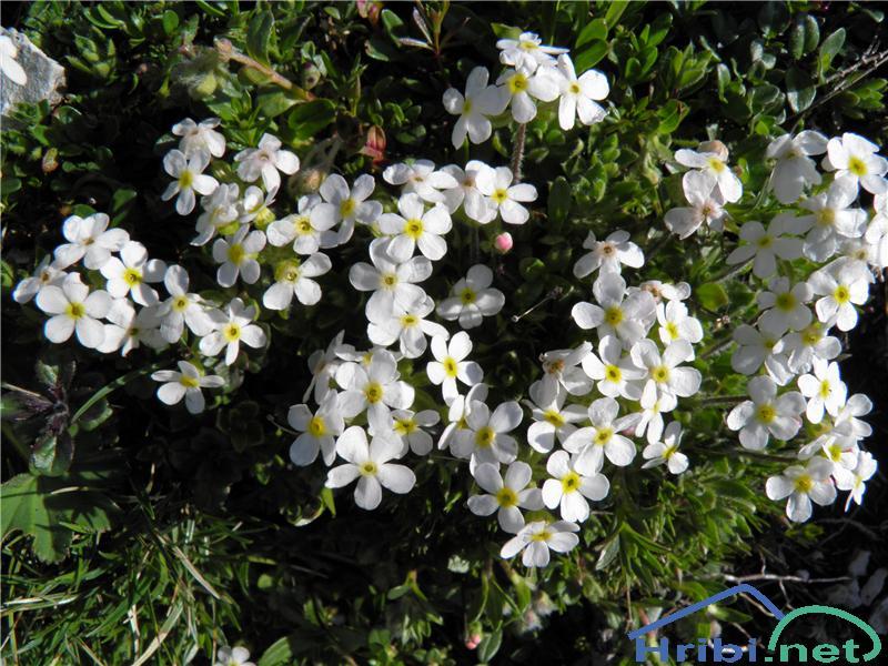 Kuštravi oklep (Adrosace villosa) - PictureKuštravi oklep (Adrosace villosa), foto Otiv.