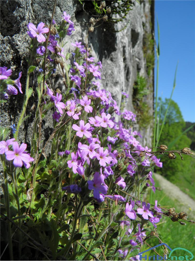 Jetrno zdravje (Erinus alpinus) - PictureJetrno zdravje (Erinus alpinus), foto Otiv.