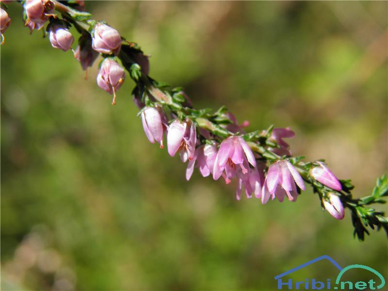 Jesenska vresa (Calluna vulgaris) - PictureJesenska vresa (Calluna vulgaris), foto Otiv.