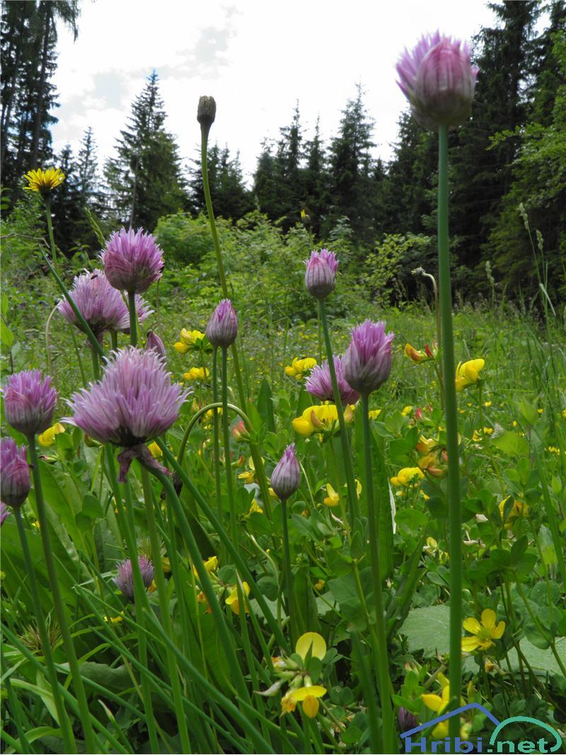 Planinski Drobnjak (Allium Schoenoprasum) - PicturePlaninski Drobnjak (Allium Schoenoprasum), foto Otiv.