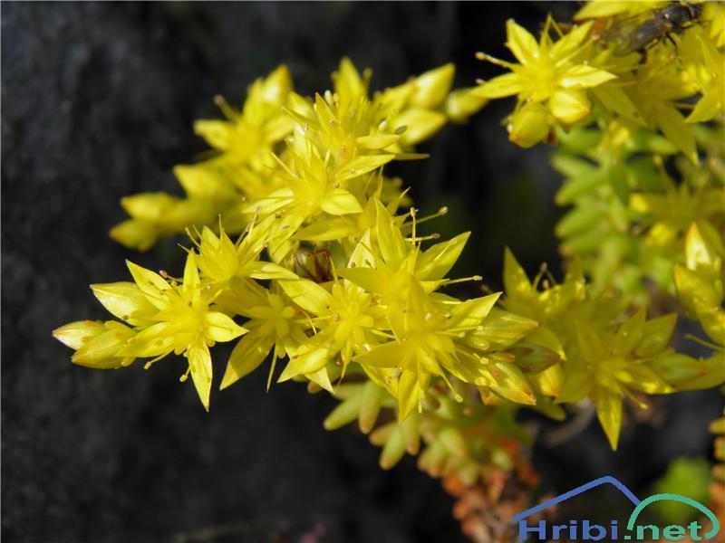Šesterokotna homulica (Sedum sexangulare) - PictureŠesterokotna homulica (Sedum sexangulare), foto Otiv.