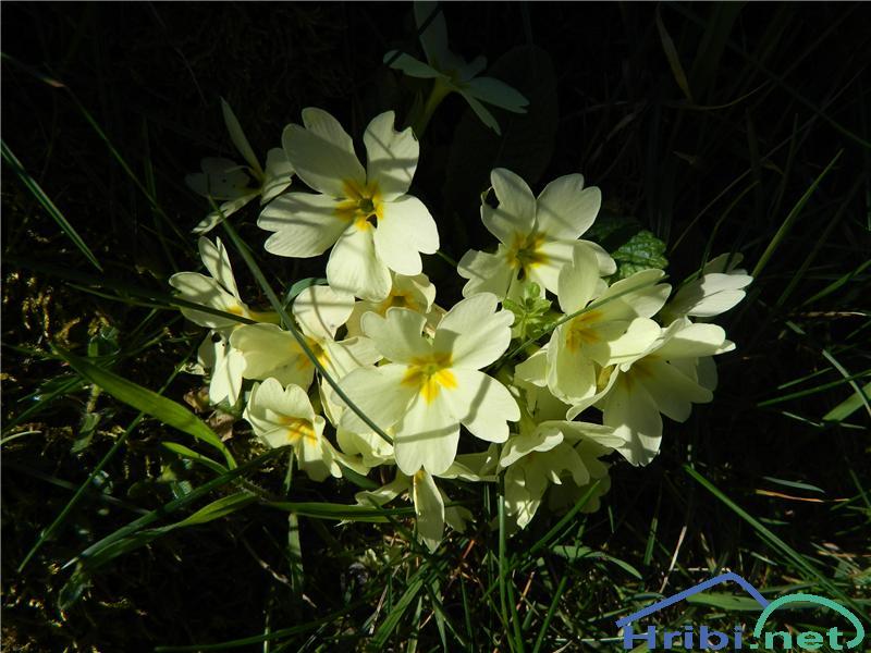 Navadni jeglič ali trobentica (Primula vulgaris) - SlikaTrobentica (Primula vulgaris), foto Apolonija.