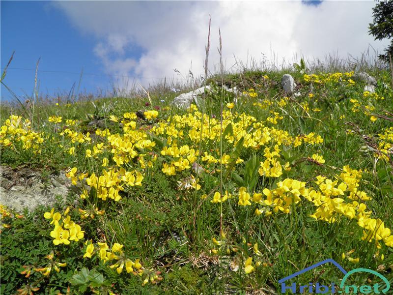 Navadna nokota (Lotus corniculatus) - SlikaNavadna nokota (Lotus corniculatus), foto Otiv.