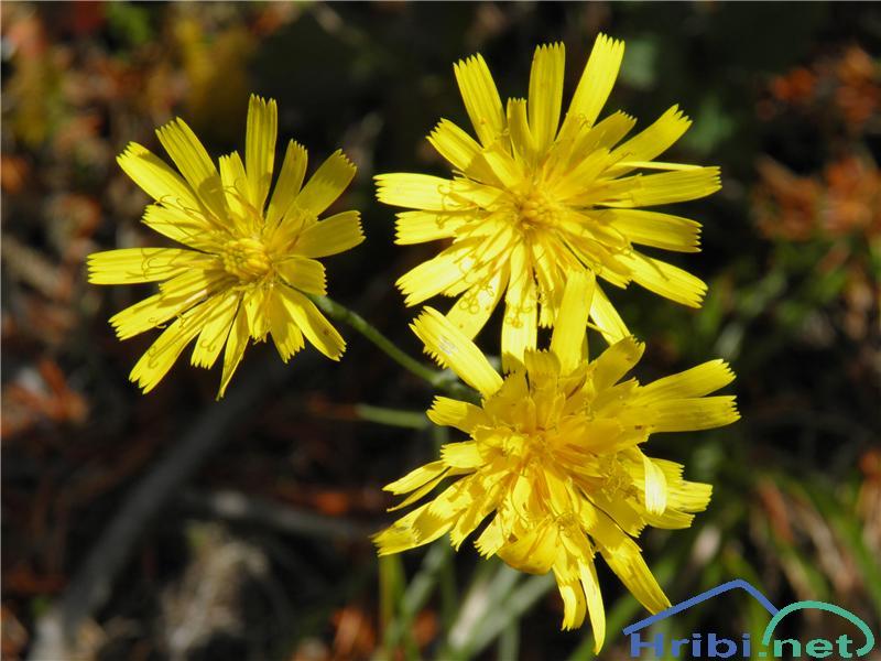 Porovolistna škržolica (Hieracium porrifolium) - PicturePorovolistna škržolica (Hieracium porrifolium), foto Otiv.