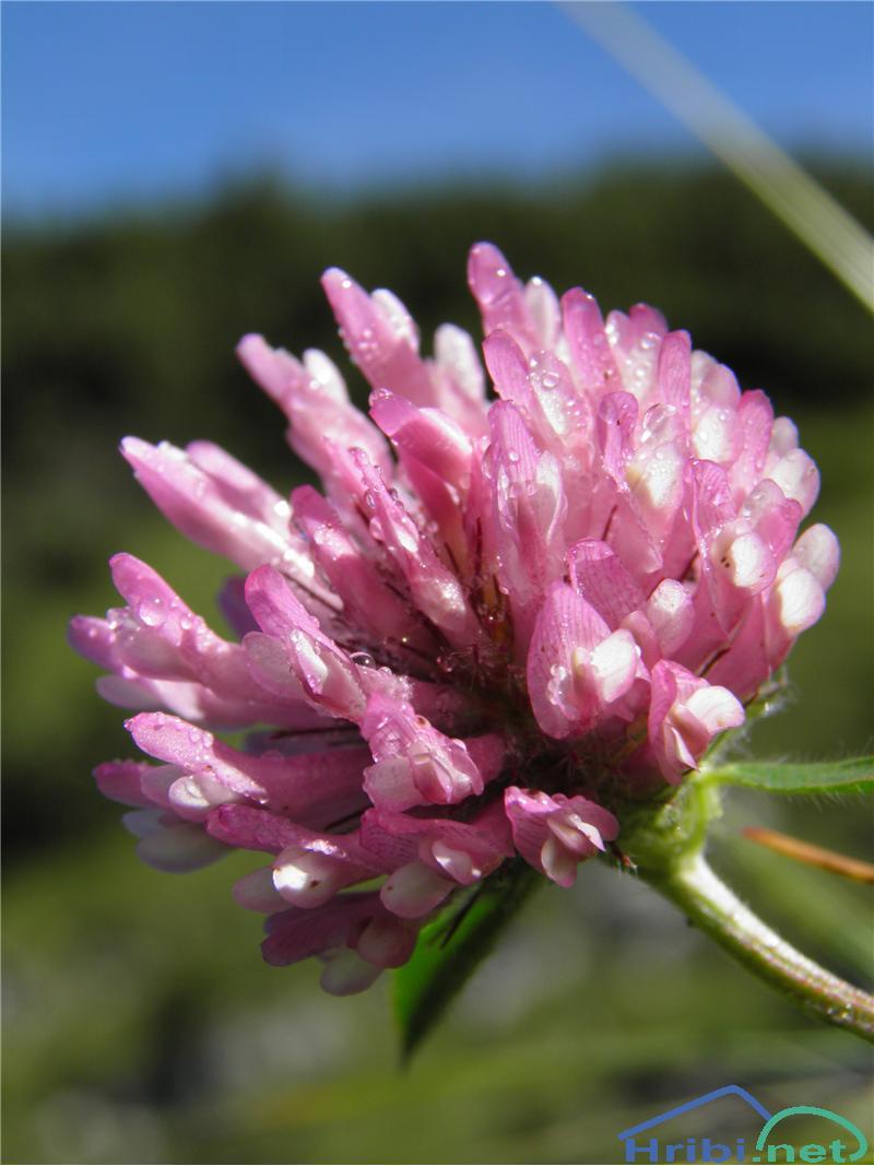 Srednja detelja (Trifolium medium) - SlikaSrednja detelja (Trifolium medium), foto Otiv.