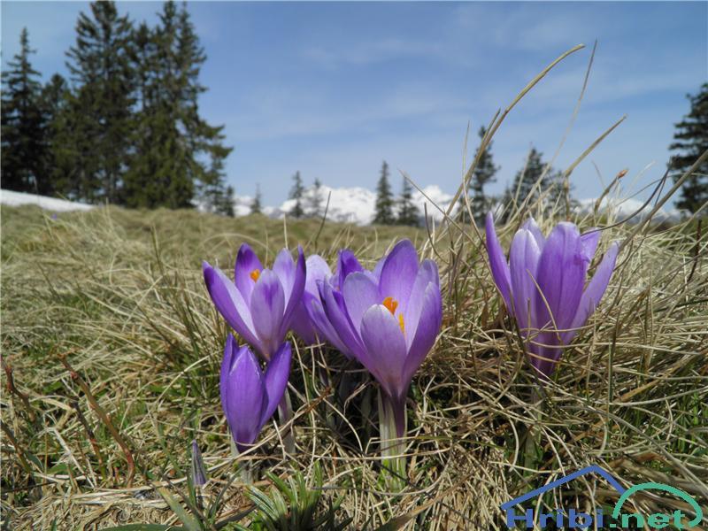 Pomladanski žafran (Crocus vernus) - SlikaPomladanski žafran (Crocus vernus), foto Otiv.