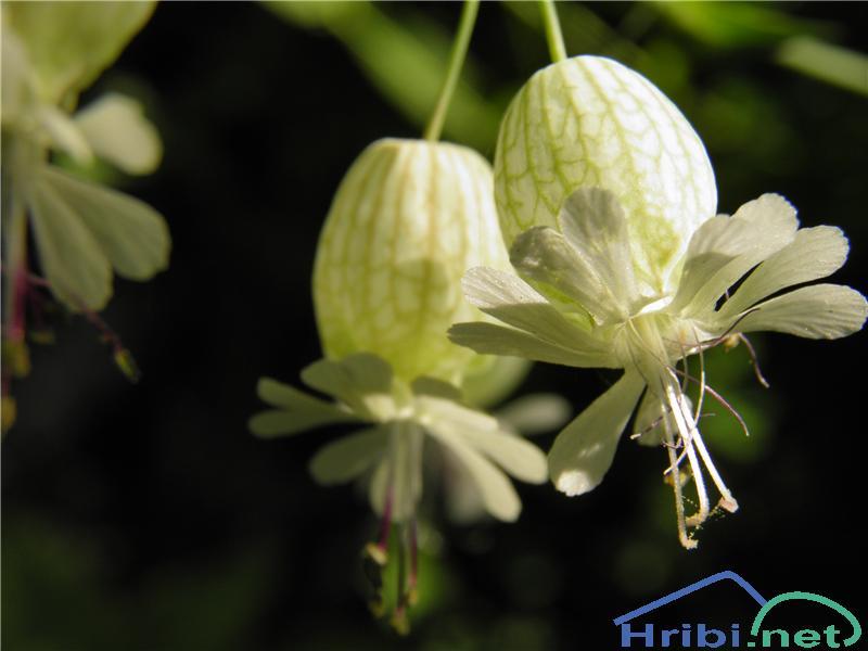 Navadna pokalica (Silene vulgaris ssp. vulgaris) - PictureNavadna pokalica (Silene vulgaris ssp. vulgaris), foto Otiv.