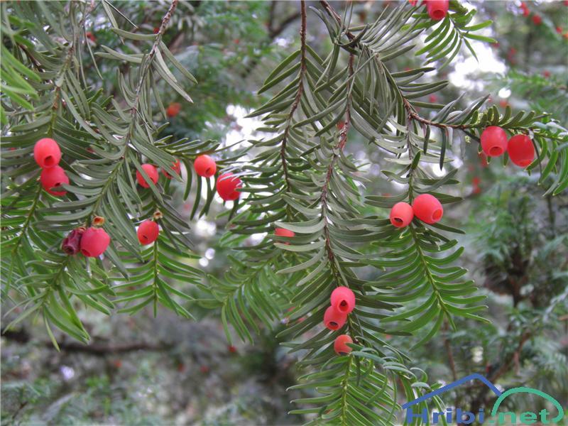 Navadna tisa (Taxus baccata) - SlikaNavadna tisa (Taxus baccata), foto Otiv.