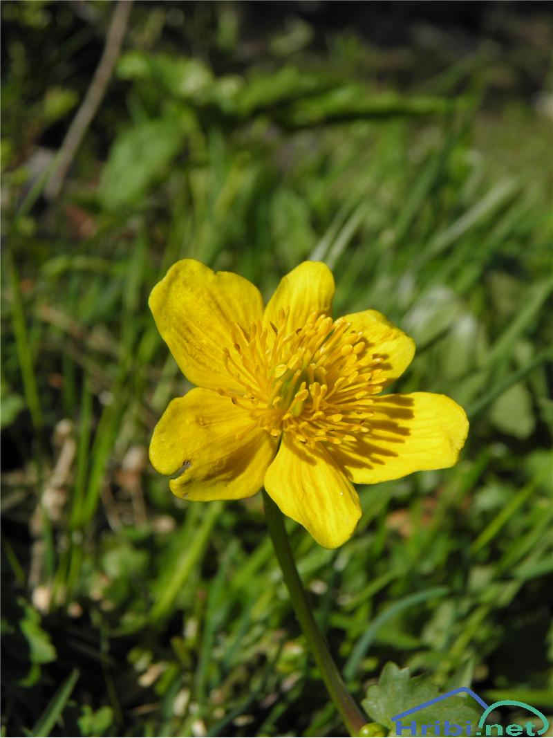 Navadna kalužnica (Caltha palustris) - SlikaNavadna kalužnica (Caltha palustris), foto Otiv.