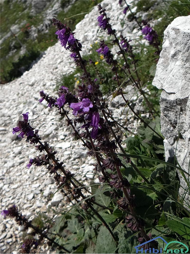 Pirenejska zmajevka (Horminum pyrenaicum) - PicturePirenejska zmajevka (Horminum pyrenaicum), foto Gita.