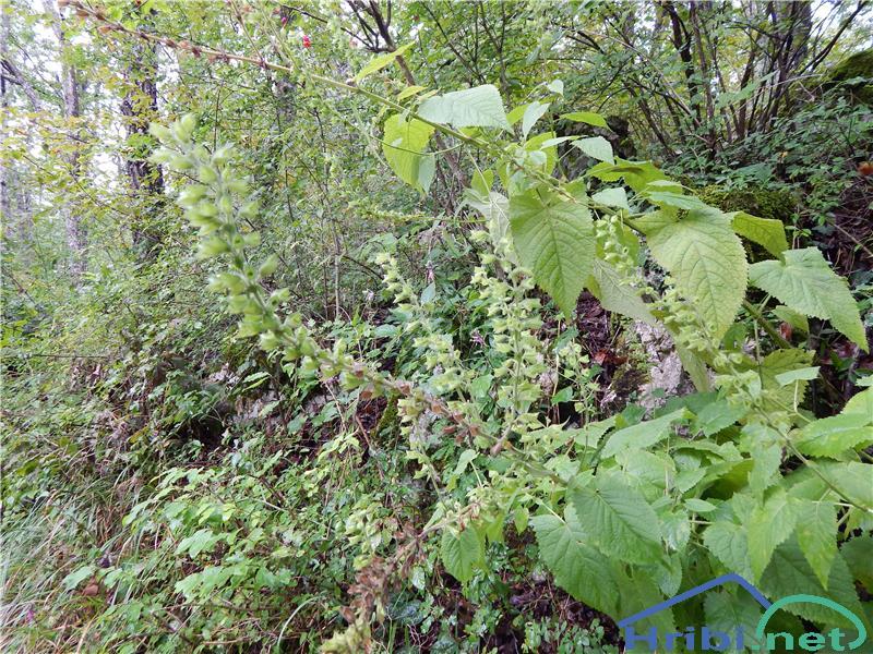 Lepljiva kadulja (Salvia glutinosa) - SlikaLepljiva kadulja (Salvia glutinosa)