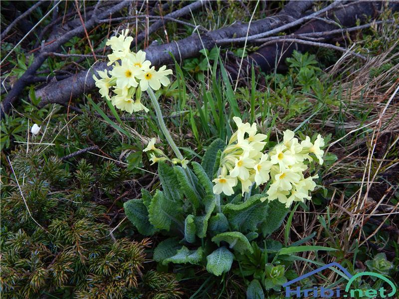 Visoki jeglič (Primula elatior) - PictureVisoki jeglič (Primula elatior)