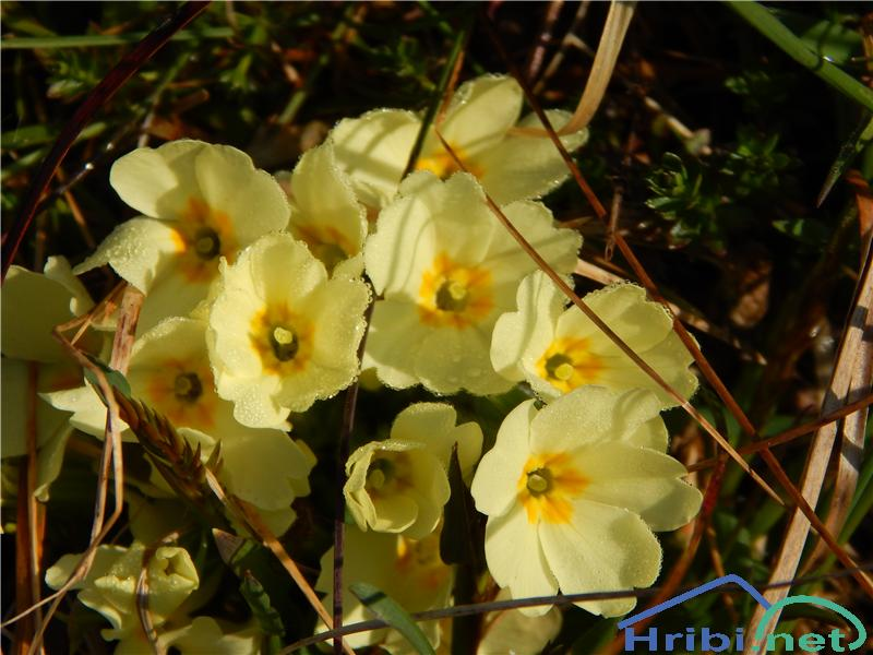 Navadni jeglič ali trobentica (Primula vulgaris) - PictureNavadni jeglič ali trobentica (Primula vulgaris)