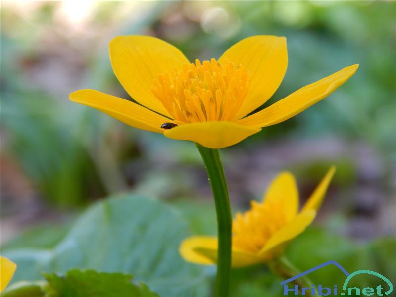 Navadna kalužnica (Caltha palustris) - PictureNavadna kalužnica (Caltha palustris)