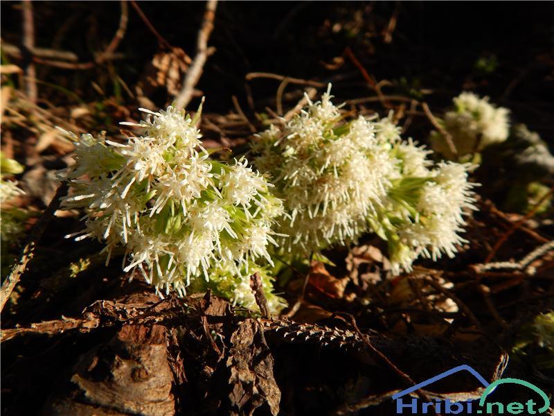 Beli repuh (Petasites albus) - PictureBeli repuh (Petasites albus)