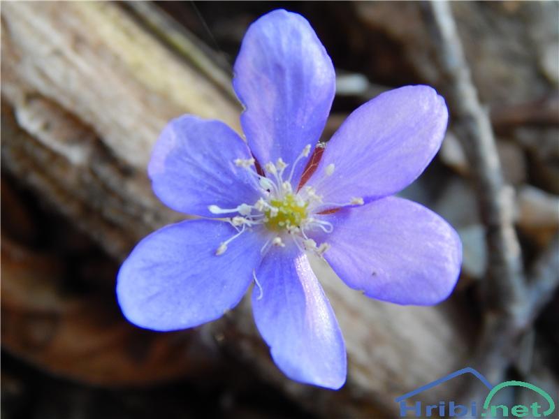 Navadni jetrnik (Hepatica nobilis) - SlikaNavadni jetrnik (Hepatica nobilis)