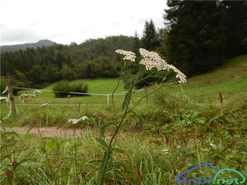 Navadni rman (Achillea millefolium) - PictureNavadni rman (Achillea millefolium)