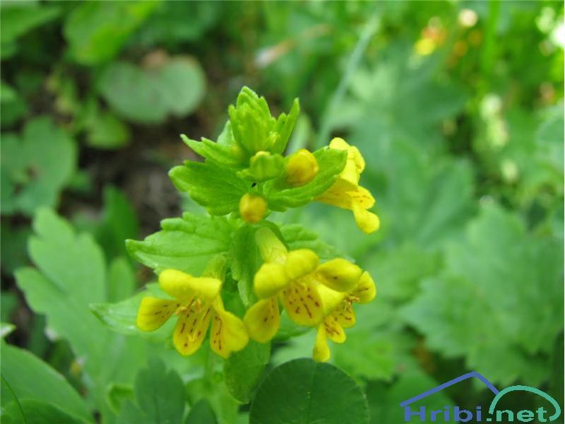 Alpski goltec (Tozzia alpina) - PictureAlpski goltec (Tozzia alpina), foto Velkavrh.