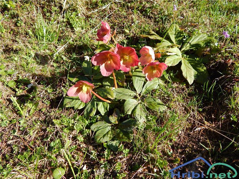 Črni teloh (Helleborus niger) - PictureČrni teloh (Helleborus niger)