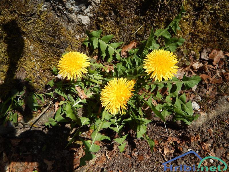 Navadni regrat (Taraxacum officinale) - PictureNavadni regrat (Taraxacum officinale)